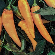 "Carrot shaped 5"" long peppers are borne on sturdy plants. Fruits ripen from deep green to golden-orange. Firm crunchy flesh is mildly peppery and sweet. Delicious as a frying pepper or eaten fresh. 60-78 days from transplant. SWEET"