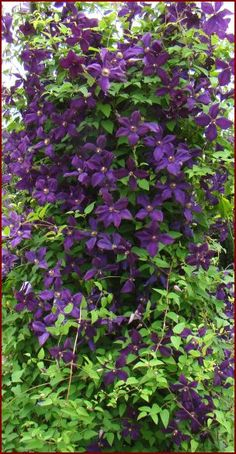 Viticella Hybrid  Full Sun, Partial Shade  Zones 3-11  grows 8 to 10 feet  Franczak, Poland, 1984  Pruning: 3  Works well in a container, windowbox or climbing up a light-colored wall. Very nice plant and easy to grow; one of our best picks for a first clematis. Try growing near or into a plant with pale green or chartreuse foliage. An Award of Garden Merit winner!
