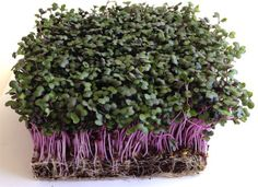 Red Cabbage Microgreens  Microgreens Growing Guide