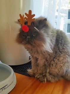 Some pets hate Christmas, some are indifferent, but these lovely fluffy creatures featured below just LOVE Christmas and are full of festive spirit. Christmas Mood, Christmas Music, Christmas Cats, Merry Christmas, I Love Cats, Cool Cats, Animal Tatoos, Owning A Cat, Animal Facts