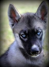 Dirty face Agouti Siberian Husky.....beautiful!! This is the coloring for the next female we go to get :)