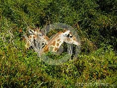 A view showing only the heads of two Giraffes eating on leaves. Giraffes, Zebras, Elephant Images, African Animals, Leaves, Giraffe