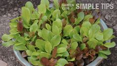 Lettuce in Containers, How To Grow Lettuce, Vegetable Lettuce, Growing Lettuce, Lettuce, Vegetable Garden, Gardening, Tips, How to, Homesteading, Container Gardening