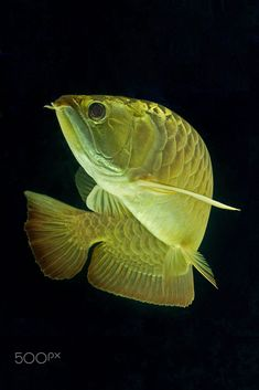 Photograph Dancing golden arowana by Kevinellie Photography on Colorful Fish, Tropical Fish, Beautiful Fish, Animals Beautiful, Dragon Fish, Fish Wallpaper, Freshwater Aquarium Fish, Fish Drawings, Underwater Creatures