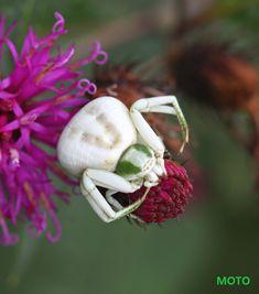 2724 Green Crab Spider | John Flannery 2014