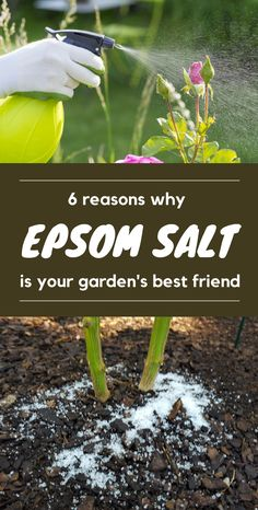 Epsom salt is an ideal solution for a variety gardening needs. Hence, it is a wonderful addition to use for a perfectly organic gardening. Keep on reading and see the 6 reasons why Epsom salt is your garden's best friend. Home Vegetable Garden, Tomato Garden, Epsom Salt For Plants, Epsom Salt For Tomatoes, Epsom Salt In Garden, Epsom Salt For Roses, Horticulture, Cleveland, Garden Pests