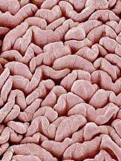 Intestinal Lining, SEM By Susumu Nishinaga
