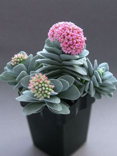 Beauty' Crassula 'Morgan's Beauty' is a compact, succulent plant, perfect for small plant containers.Crassula 'Morgan's Beauty' is a compact, succulent plant, perfect for small plant containers. Blooming Succulents, Flowering Succulents, Cacti And Succulents, Planting Succulents, Planting Flowers, Container Gardening Vegetables, Succulent Gardening, Succulent Ideas, Flower Gardening