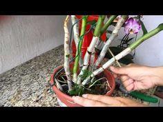 Como reproduzir seus Dendrobiuns por corte de bulbos antigos ,e falando de germinação de sementes. - YouTube