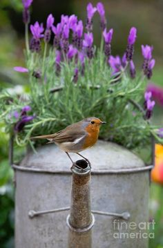 Robin by Tim Gainey on Fineartamerica.com