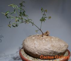 Raphionacme burkei 20cm Cactus Gallery