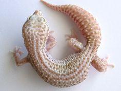 Super Snow Albino Leopard Gecko