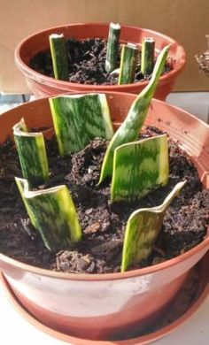People often propagate house plants like these because it is cheap and very easy to do
