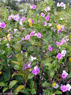 Yesterday, Today and Tomorrow (Brunfelsia pauciflora 'Floribunda' or Brunfelsia grandiflora ) Tender tropical evergreen shrub for zones 10-11, about 10 ft tall and 8 ft wide. Very fragrant flowers in rose/mauve, purple, and white (all 3 colors at once) blooms most of year except coldest months. Prune after flowering for more bushy form if desired. Poisonous if eaten. Propagate by cuttings or seeds. Bees, butterflies and birds love it.