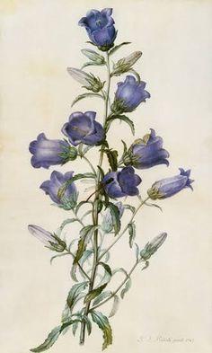 iris botanical illustration redoute - Google Search Joseph, Illustration Botanique, Art Articles, Poster Design, Post Impressionism, Fine Art Prints, Canvas Prints, Victoria And Albert Museum, Canterbury