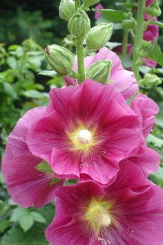 Reminder to plant hollyhocks outside the kitchen for next summer - why didn't I think of it before?!?
