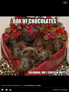 My favorite kind of chocolate!!!!! Chocolate lab puppies yes please
