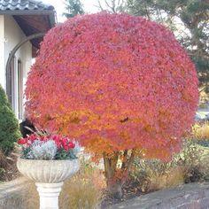 Kugelbäume: In jedem Garten ein Hingucker