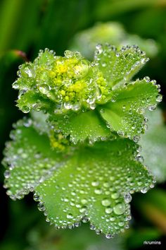 Water drops sit on leaves and glisten like diamonds in the sun Exotic Flowers, Green Flowers, Beautiful Flowers, Dew Drops, Rain Drops, Outdoor Plants, Garden Plants, Alchemilla Mollis, Macro Photography