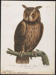 https://flic.kr/p/9YwnuR | Bubo capensis | See: bibliodyssey.blogspot.com/2011/07/iconographia-zoologica....