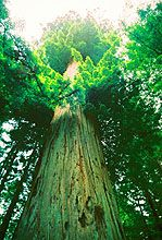 Coastal Giant Redwoods