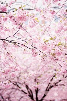 Cherry blossom // sakura