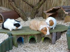 I've been watching Petspalacetv for a while now, she's the owner of these three adorable guinea pigs! Their names are: Panda, Miffy and Ruby