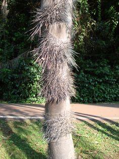 Caule de palmeira com espinhos