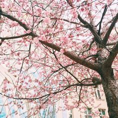 I just want a love as beautiful as cherry blossoms