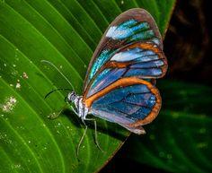 glasswing butterfly | Ithomiidae Chiapas Glasswing Butterfly (Panama)