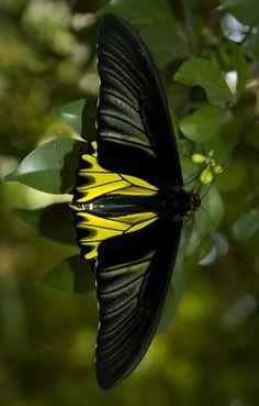 "Goliath Birdwing Butterfly / ""Que haja transformação, e que comece comigo."" (Marilyn Ferguson)"