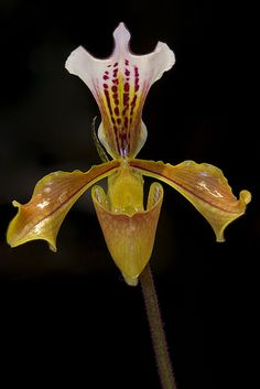 Paphiopedilum gratrixianum - Flickr - Photo Sharing!