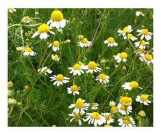 Know where your medicine comes from? Background on the Chamomile sold by Traditional Medicinals