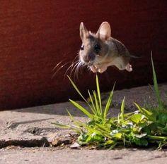 Удачный кадр...мышка в полете :)