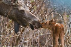 The moose (North America) or Eurasian elk (Europe) (Alces alces) is the largest… Moose Pics, Moose Pictures, Deer Photos, Cute Pictures, Baby Animals, Cute Animals, Animal Babies, Squirrel Girl, Deer Family