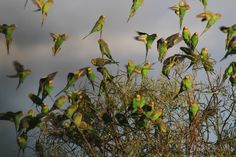 Budgerigars in outback NSW, Australia