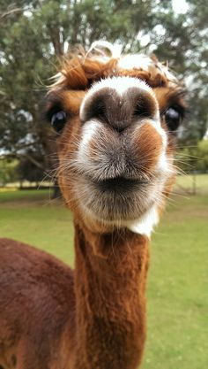 A friendly alpaca by Francois Maillot on 500px