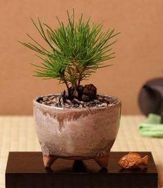 How to make a bonsai Bonsai Tree Care, Bonsai Tree Types, Indoor Bonsai Tree, Indoor Plants, Plantas Bonsai, Pine Seeds, Plants Are Friends, Miniature Trees, Paludarium