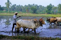 In parts of India, small farmers follow the old way of Farming-   with a pair of oxen. Here is a scene from Tamil Nadu.