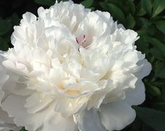 """Festiva Maxima - Early Lactiflora, double, white buds open to beautiful white with a  spot of red in the center of the flower, fragrant, normal  grower, many stems, needs support, it belongs on the """"good""""  list of well paid cutflowers, (Miellez 1851). www.peonyshop.com"""