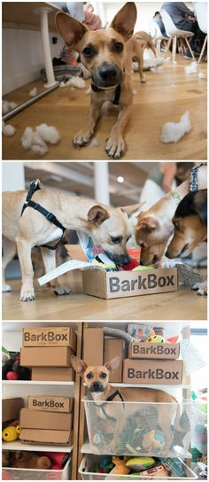 Meet Gus, Head of Product Testing at BarkBox. His impressive resume includes boundless energy, a mighty jaw, and ears that can hear a squeakie toy a mile away. Born at an NYC rescue, he works like a dog to ensure BarkBox delivers the best treats & toys every month.