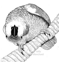 Sally Blanchard - Pen Drawing Curious Blue-front Amazon