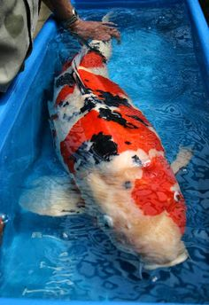 1000 images about koi fish on pinterest koi butterfly for Koi fish size