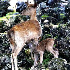 fuji_safari 仲睦まじいダマジカの親子 The close relationship of a fallow deer parent and child. #富士サファリパーク #ダマジカ #ファロージカ #ファローディア #赤ちゃん #親子 #動物 #fujisafaripark #deer #fallowdeer #baby #animal #wildlife 富士サファリパーク 2017/06/28 09:20:56