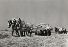 Oogsten, vervoer, garven en schoven. Een driespan paarden vervoeren zakken met de oogst, en daarachter een kar met land-arbeiders,augustus 1950.