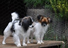 The Papillon is a very intelligent and self-assured dog which has a very effortless time understanding new tricks.The earliest toy spaniels resembling the papillon are found in Italy.