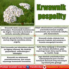 Krwawnik pospolity - korzyści zdrowotne - Zdrowe poradniki Naturopathy, Weed, Natural Remedies, Herbalism, Meals, Nice, Fitness, Nature, Flowers