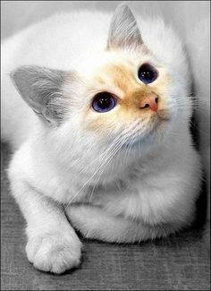 In memory of my flame point siamese-Tobo--i will NEVER forget YOU. c.c.