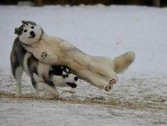 シベリアンハスキーがはしゃいでる決定的瞬間の写真