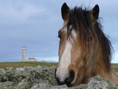 Lundy Island - Harry and the old light Pony Breeds, Old Lights, Palomino, Wild And Free, Wild Horses, Day Trip, Ponies, Devon, Sailing